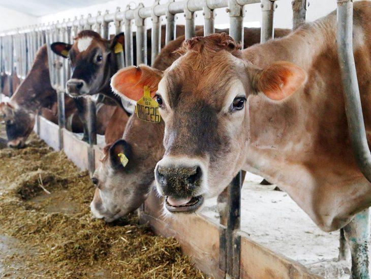 корова_ферма_коровы
