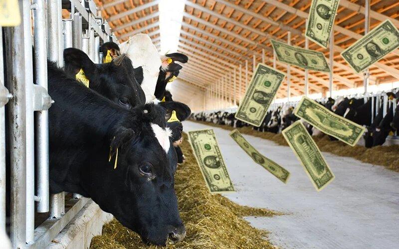 ферма коров