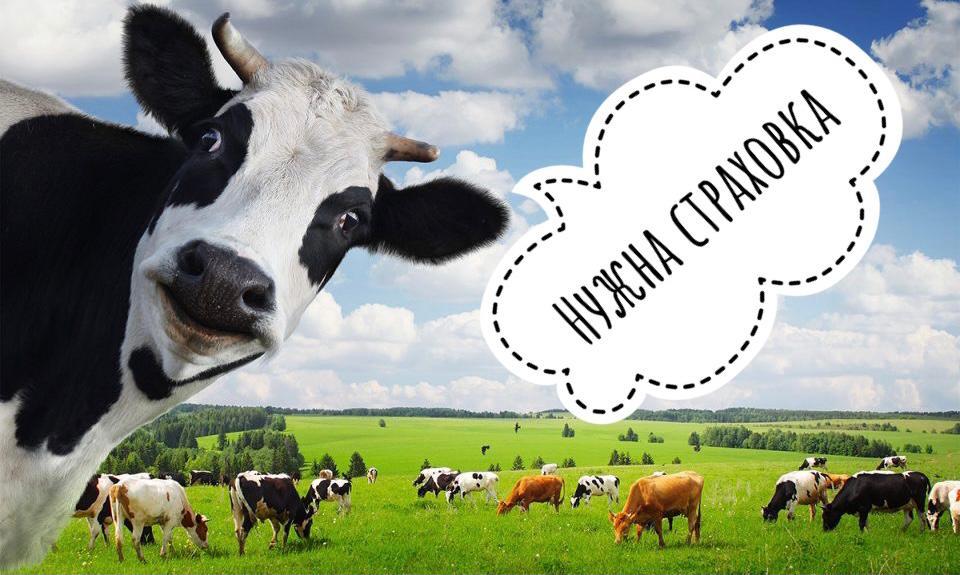 агрострахование_крс_сельское_хозяйство_фермерство_животноводство