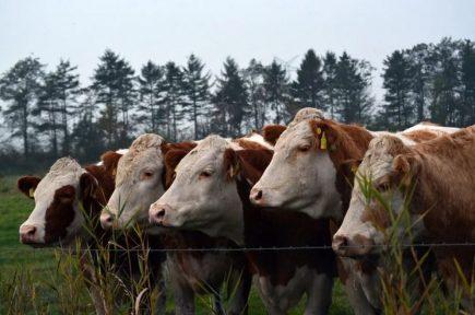закупка скота, новости апк, новости фермерские, крс, животноводство